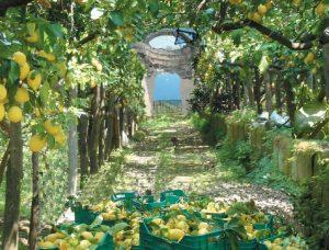 Limoni di Sorrento per il limoncello